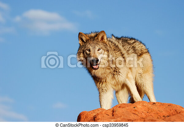 Gray wolf (Canis lupus) - csp33959845