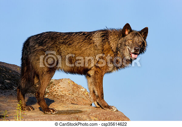 Gray wolf (Canis lupus) - csp35614622