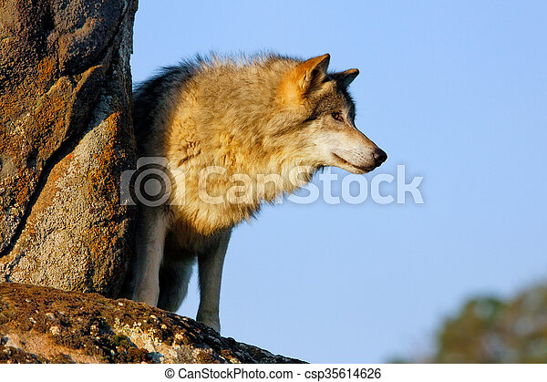 Gray wolf (Canis lupus) - csp35614626