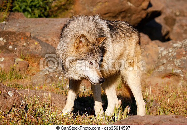 Gray wolf (Canis lupus) - csp35614597