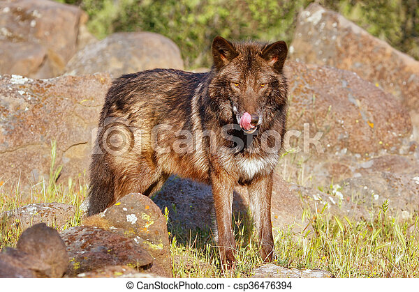 Gray wolf (Canis lupus) - csp36476394