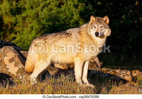 Gray wolf (Canis lupus) - csp36476399