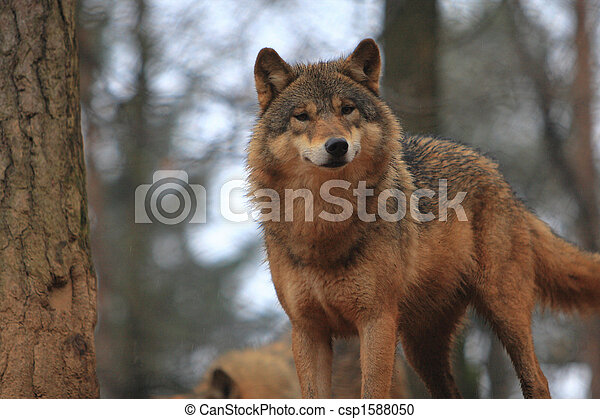 Gray Wolf Canis Lupus - csp1588050