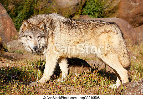 Gray wolf (Canis lupus) - csp33310508
