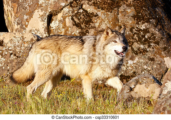 Gray wolf (Canis lupus) - csp33310601