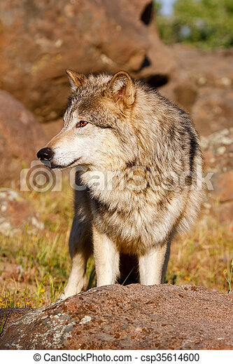 Gray wolf (Canis lupus) - csp35614600