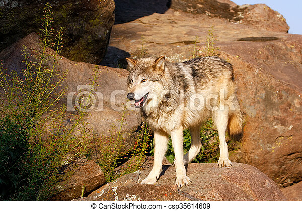 Gray wolf (Canis lupus) - csp35614609