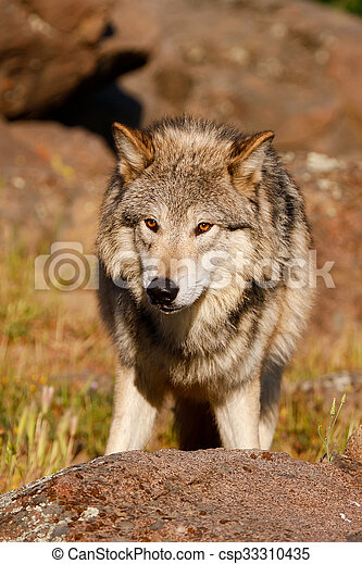 Gray wolf (Canis lupus) - csp33310435