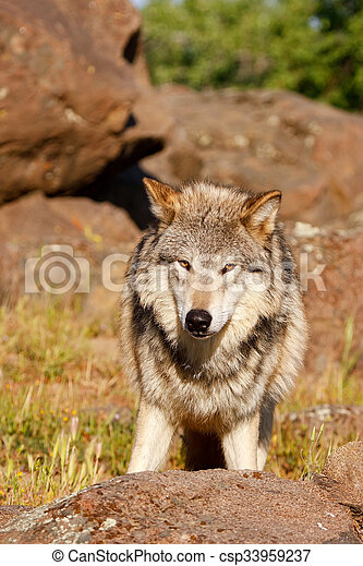 Gray wolf (Canis lupus) - csp33959237