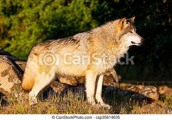 Gray wolf (Canis lupus) - csp35614635