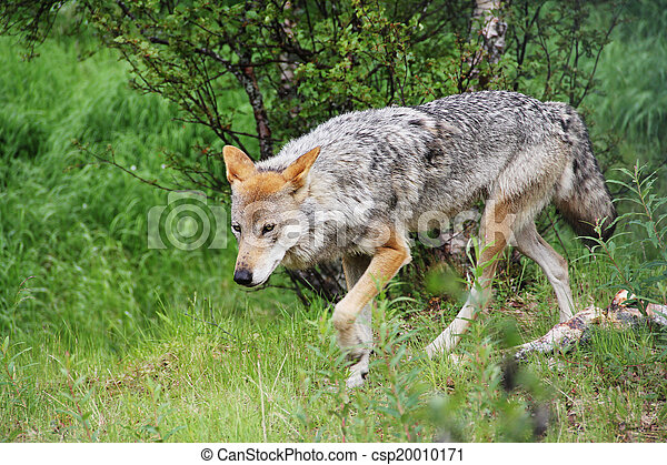 Gray Wolf in forest - csp20010171