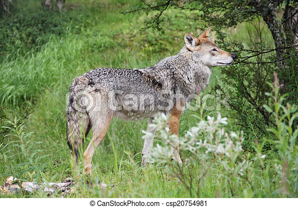 Gray Wolf in forest - csp20754981