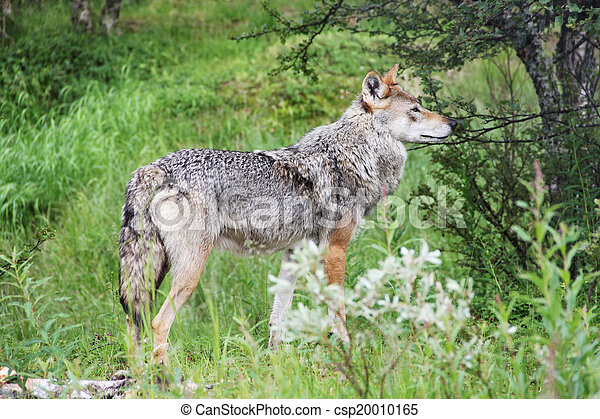Gray Wolf in forest - csp20010165
