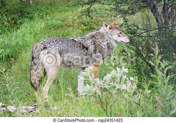 Gray Wolf in forest - csp24351423