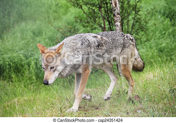 Gray Wolf in forest - csp24351424