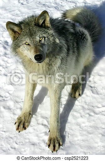 Gray Wolf in the Snow - csp2521223