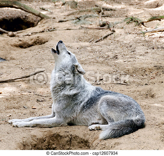 Gray Wolf Laying Down and Howling - csp12607934