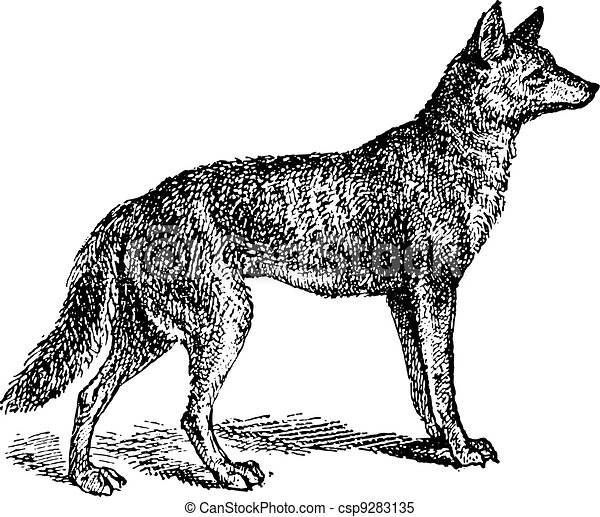 Gray Wolf or Canis lupus, vintage engraving - csp9283135