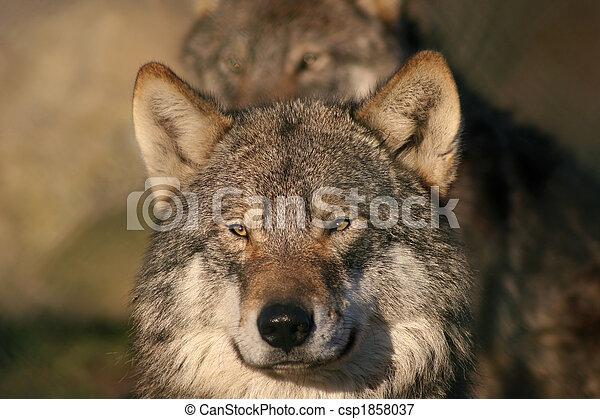 gray wolf - csp1858037