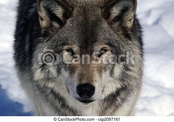 Gray Wolf - csp2097161