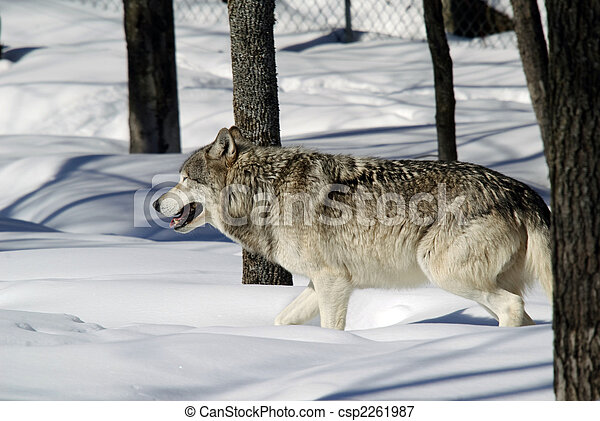 Gray Wolf - csp2261987