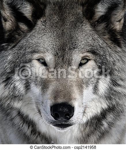 Gray Wolf - csp2141958