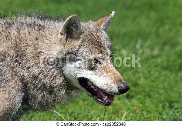 gray wolf - csp2352348