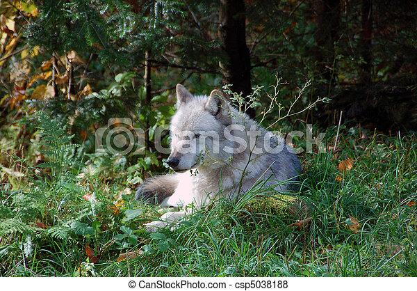 Gray Wolf - csp5038188