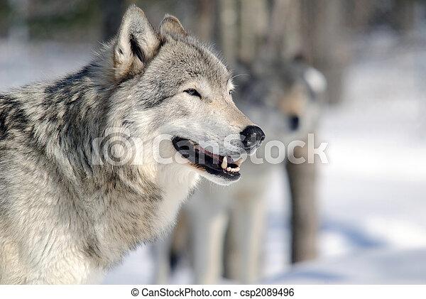 Gray Wolf - csp2089496
