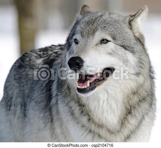 Gray Wolf - csp2104716