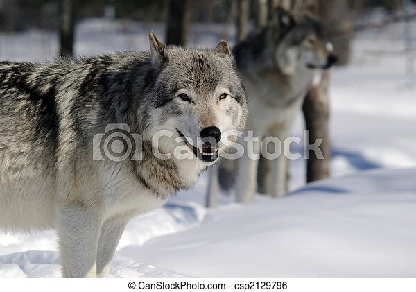 Gray Wolf - csp2129796