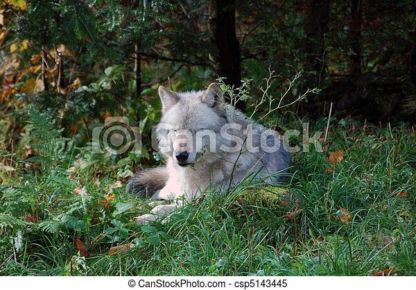 Gray Wolf - csp5143445