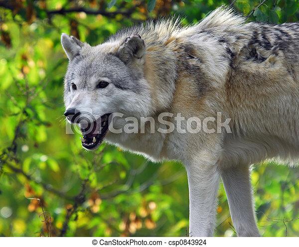 Gray Wolf - csp0843924