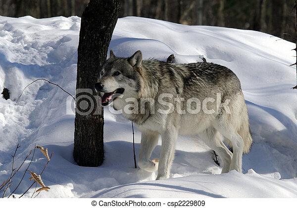 Gray Wolf - csp2229809