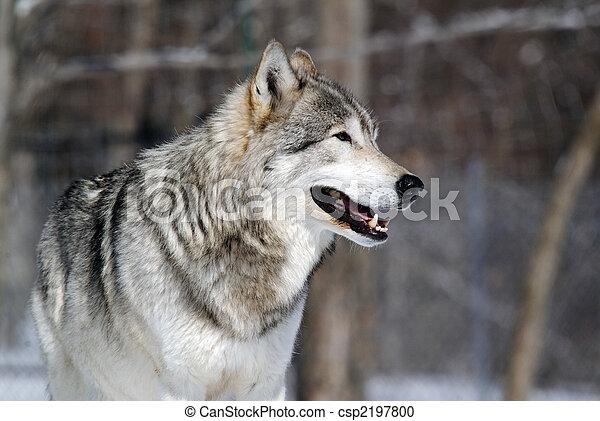 Gray Wolf - csp2197800