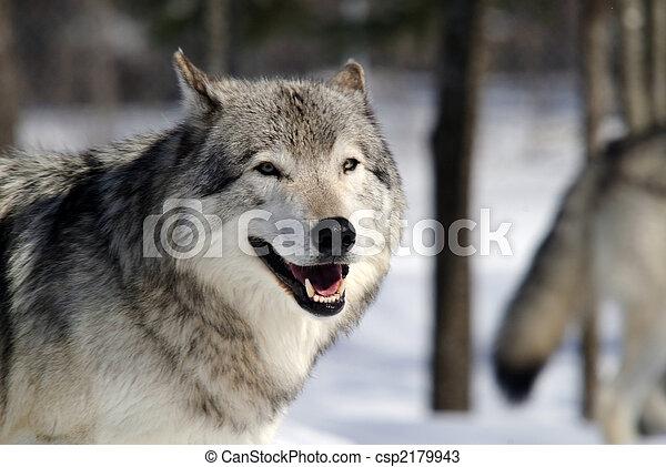 Gray Wolf - csp2179943
