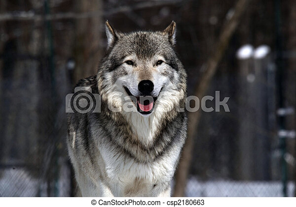 Gray Wolf - csp2180663