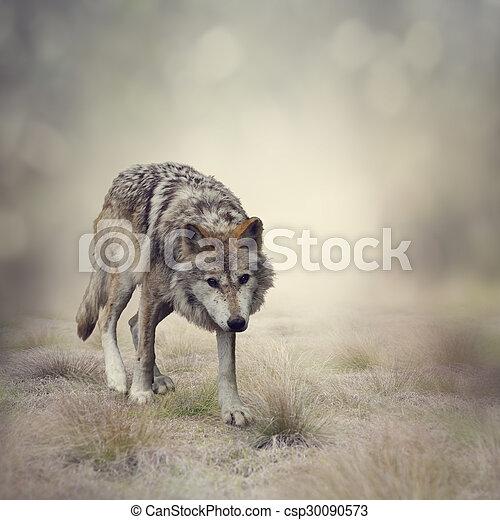 Gray Wolf Walking - csp30090573