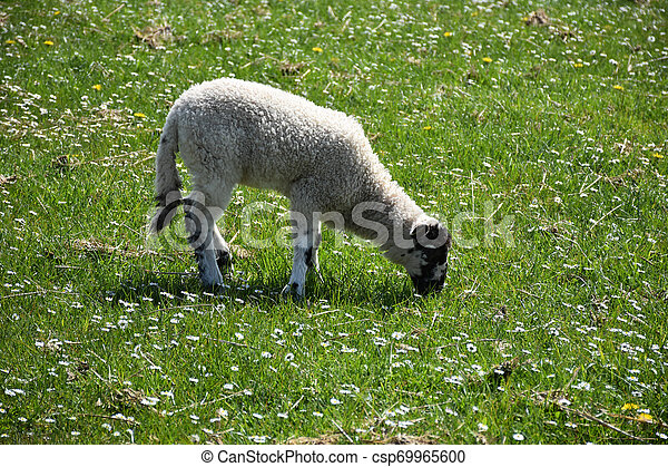 Grazing Beulah Speckled Face Lamb in a Field of Flowers - csp69965600