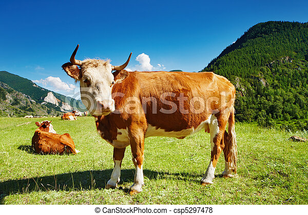 Grazing cow - csp5297478