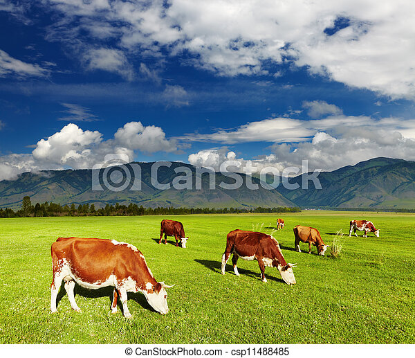 Grazing cows - csp11488485