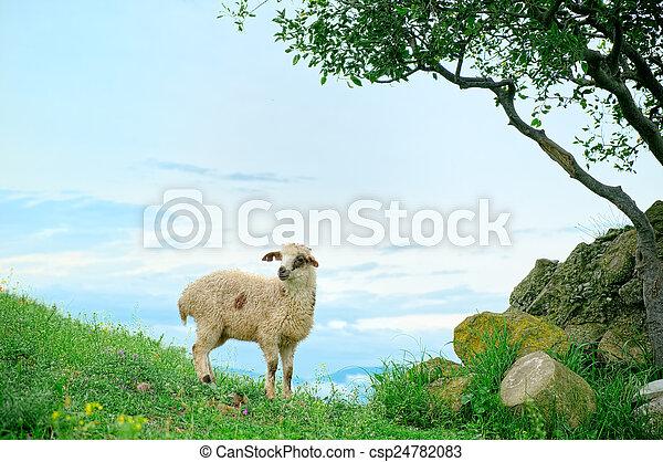 Grazing lamb in mountains - csp24782083