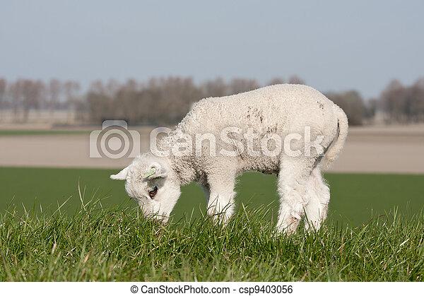 Grazing lamb on a dike - csp9403056