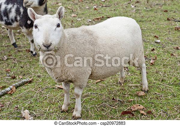 Grazing lamb - csp20972883