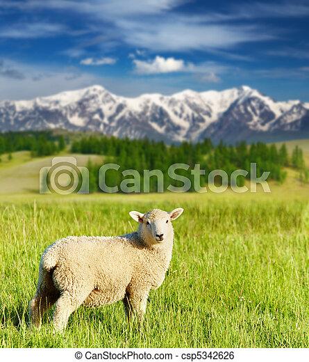 Grazing lamb - csp5342626