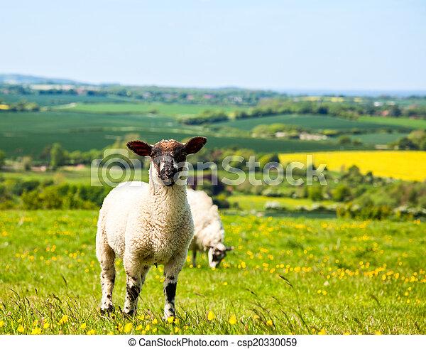 Grazing lamb - csp20330059