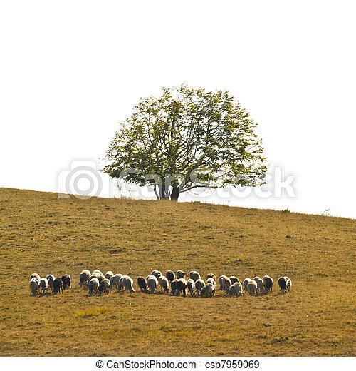Grazing sheep flock - csp7959069