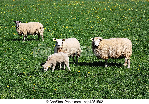 Grazing Sheep - csp4251502