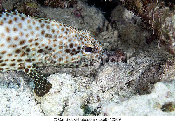 Greasy grouper (ephinephelus tauvina) in the Red Sea. - csp8712209