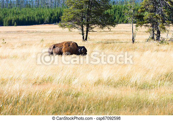 Great american bison or buffalo - csp67092598